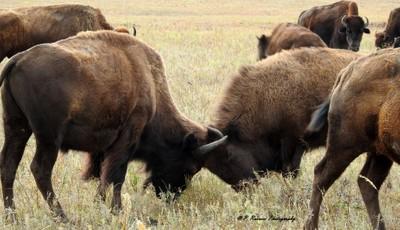 Bison in heated argument