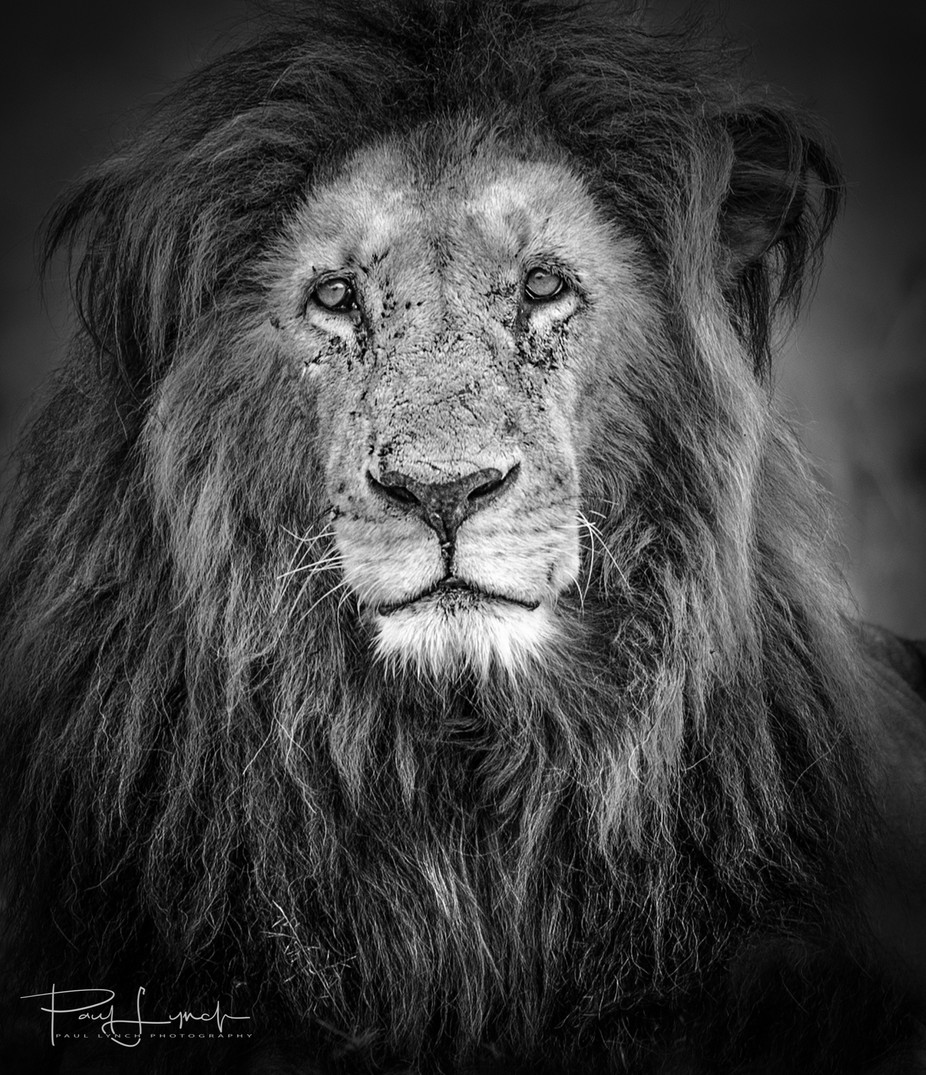 Old Lion by WorldPix - Our World In Black And White Photo Contest