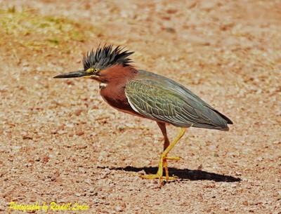Green Heron at Papago early this year!