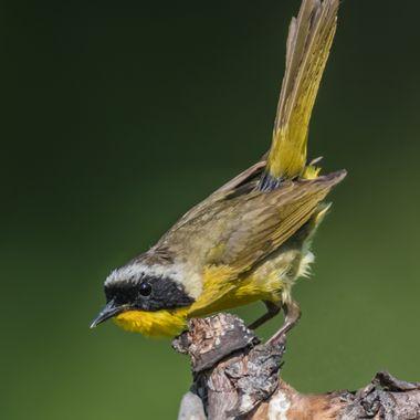 Common Yellowthroat-6118