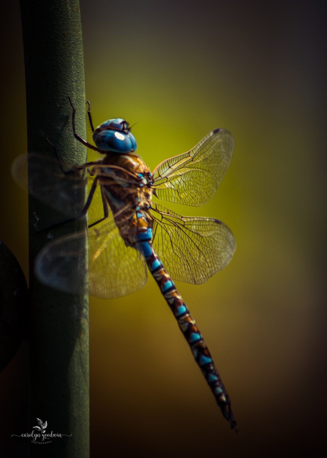 The Blue-Eyed Darner Dragonfly was passing by the hummingbird feeder and decided to take a pause and rest those beautiful wings.  I couldn't have been more thrilled with the opportunity to not only photograph this beautiful creature but also to truly appreciate the beauty.