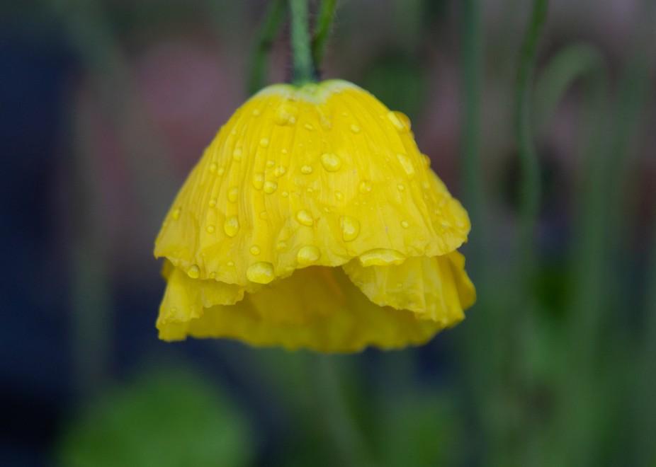 Oriental poppy bloom heavy with rain.