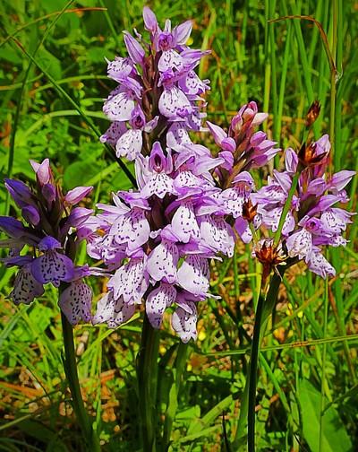 Wild orchids x