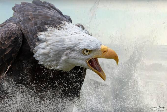 "Blad Eagle ""Splash Down"" by lesarnott - Majestic Eagles Photo Contest"