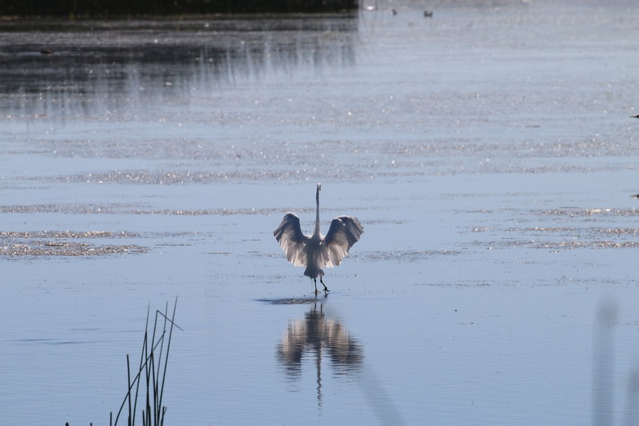 This just seemed like perfect timing on the Egret.  The light was from the East so it made it loo...