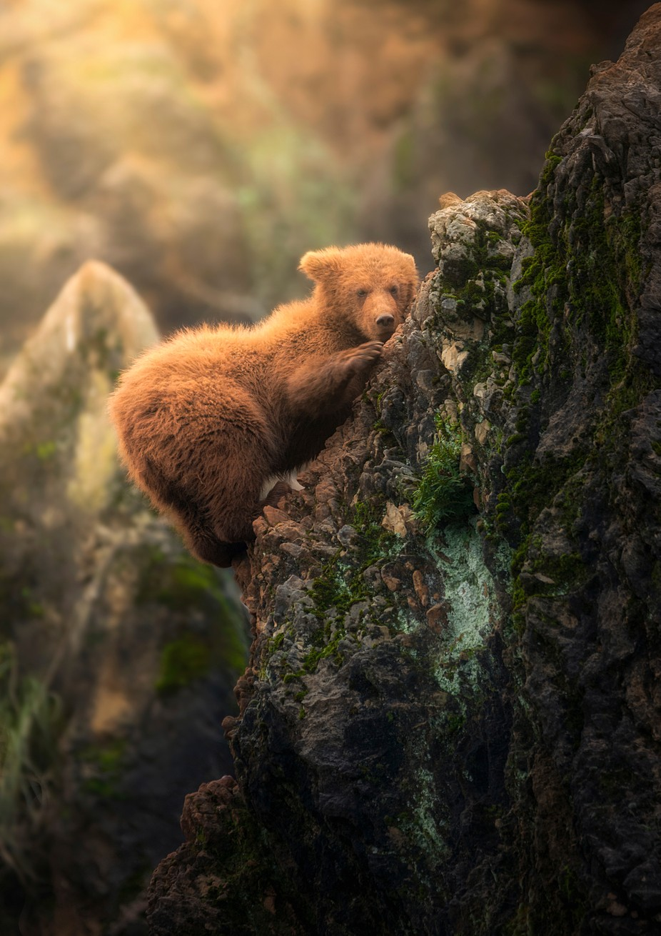 The climber bear by Sergio_Saavedra - Bears Photo Contest