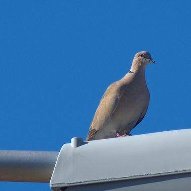 Dove spying atop a street light