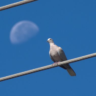 Dove on a white with bokeh Moon