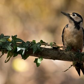 Great spotted woodpecker (Dendrocopos major) Ticino valley natural park, Italy www.italianwildlife.it