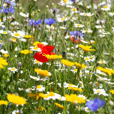 Beautiful colours of wildflowers in our village at the moment. (New Hartley, UK)