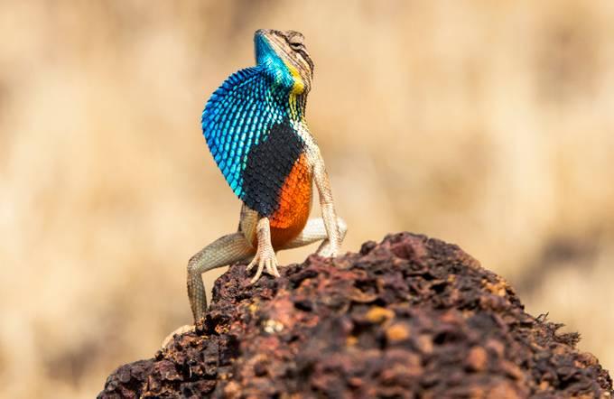 Fan Throated Lizard by suyashkadam34 - Reptiles Photo Contest