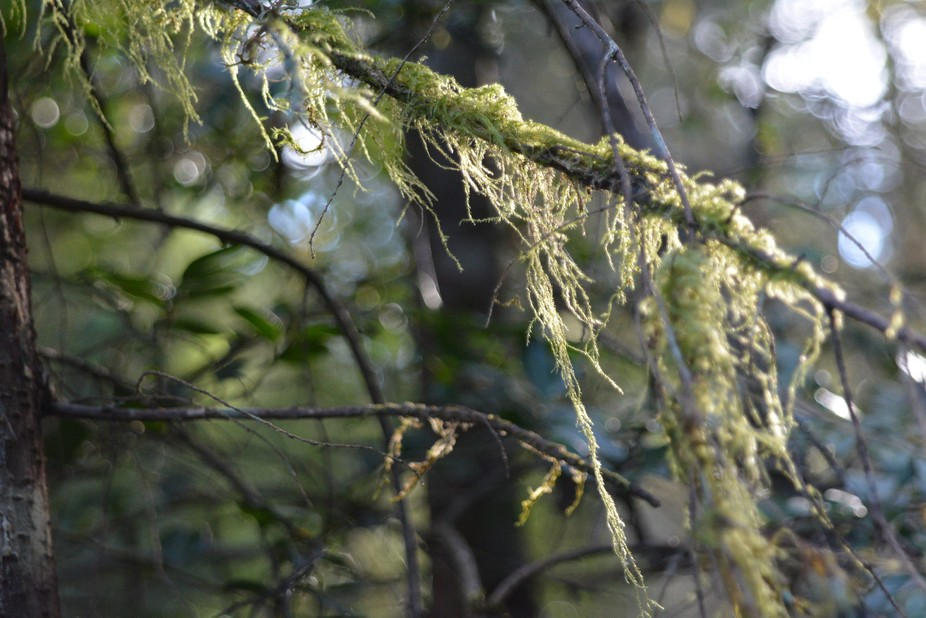 Just a shot of the day's ending casting light through the low hanging moss on my evening walk!