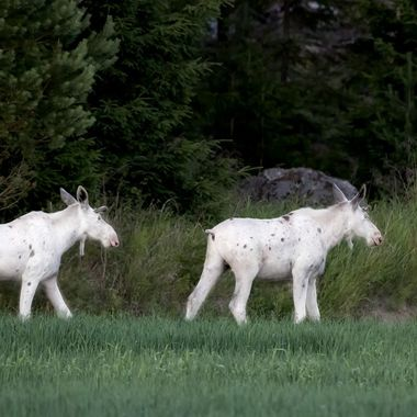 True picture in free nature. White 1 year old elk bulls.