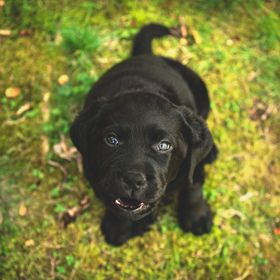I loved the contrast of this cute, black lab puppy with the vibrant green moss.