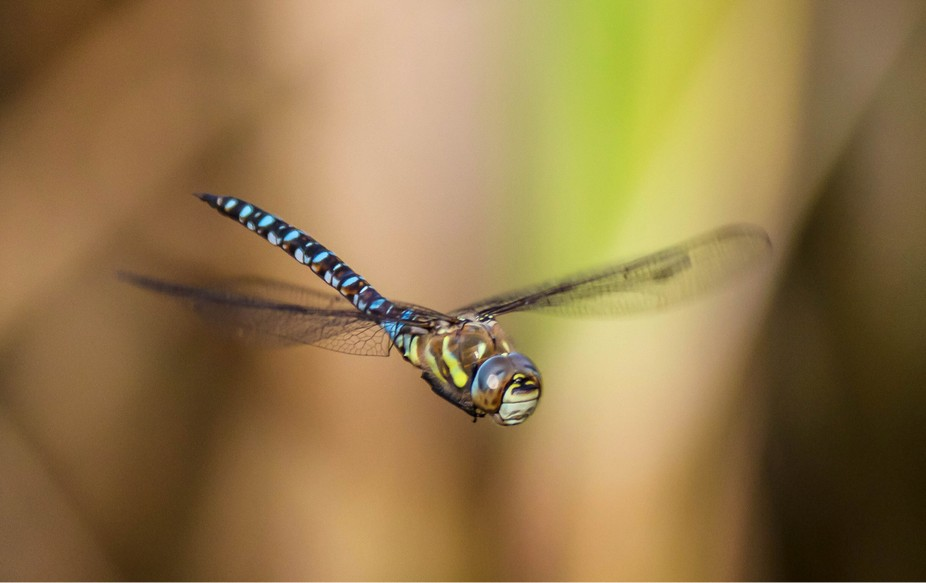Southern or migrant hawker