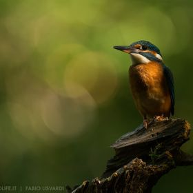 Common kingfisher (Alcedo atthis)  Ticino valley natural park, Italy  www.italianwildlife.it