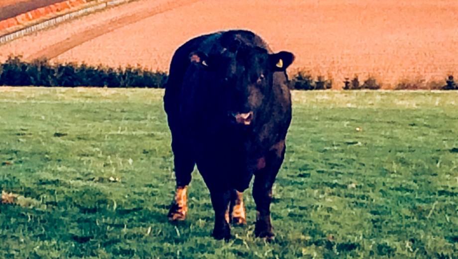 Eddie the bull