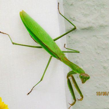 Praying Mantis - Darnestown, MD IMG_2664