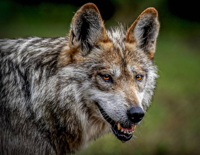 Mexican Grey Wolf by Dcrisp - Celebrating Nature Photo Contest Vol 5