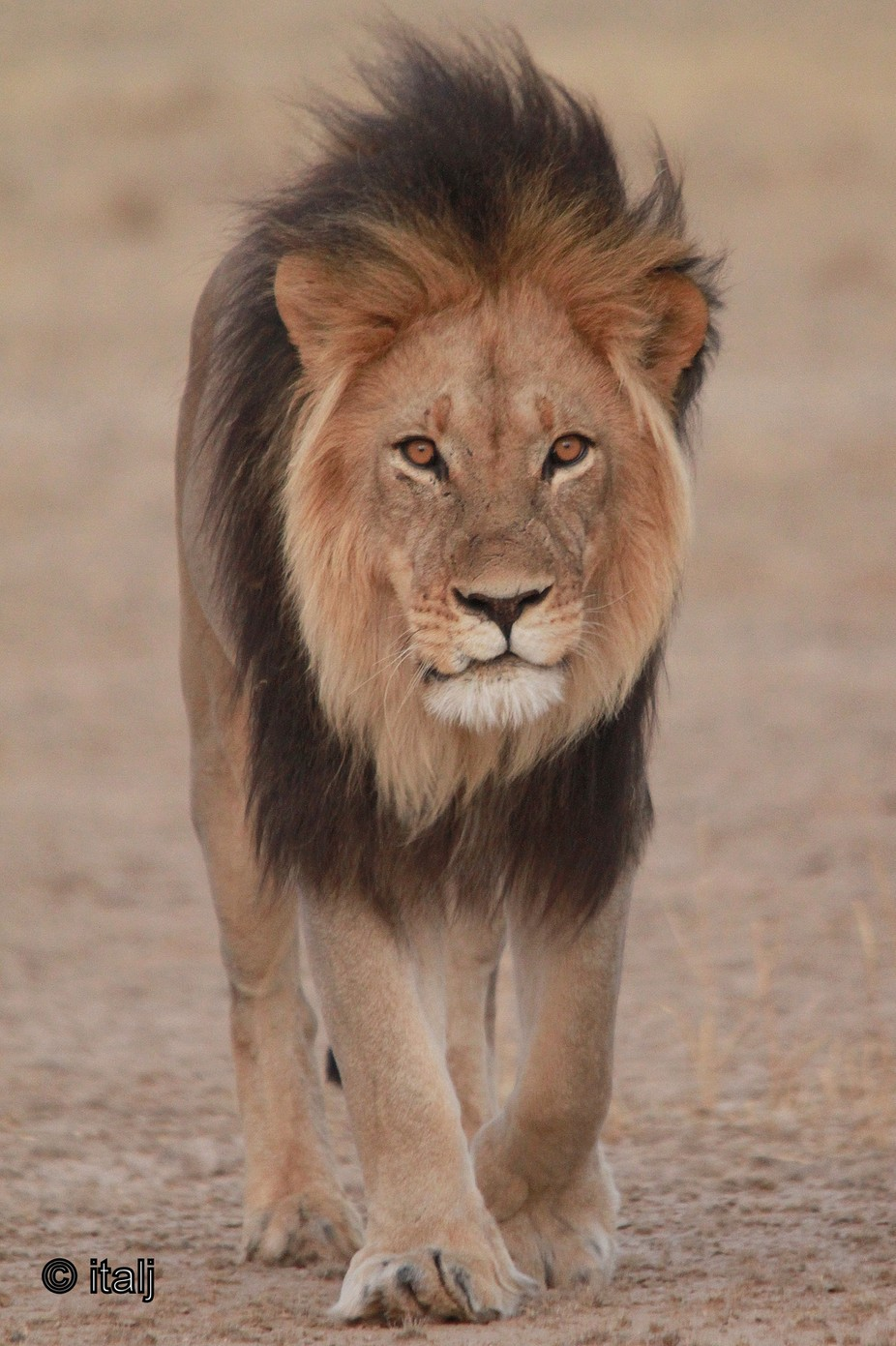Lion on a mission by italj - Monthly Pro Photo Contest Vol 44