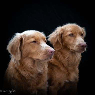 These are my Nova Scotia Duck Tolling Retrievers.  Wonderful dogs with whom I am lucky to share my life.