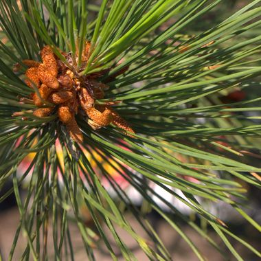 Developing spruce cones