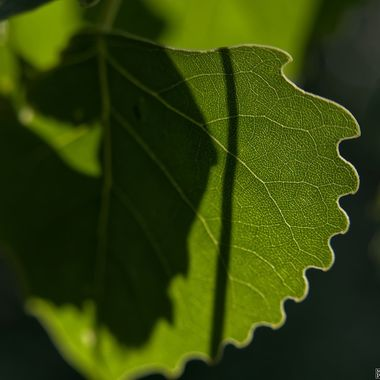Serrated edge and veins of a back-lit leaf