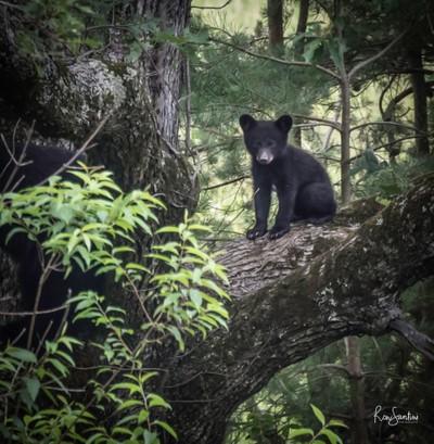 A Curious Black Bear Cub