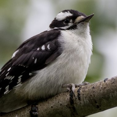0P6A7760 Downy Woodpecker