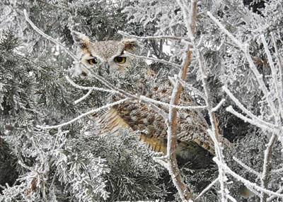 Frosty Owl