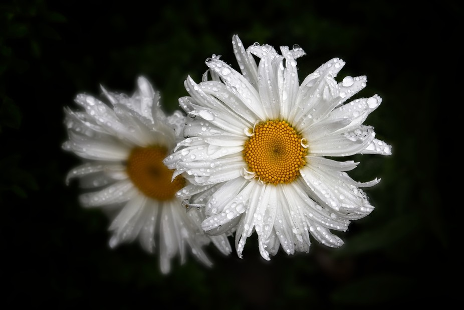 Daisies covered in raindrops at the end of a summer rain...  BEST VIEWED WITH BLACK BACKGROUND. CLICK ON IMAGE TO VIEW.