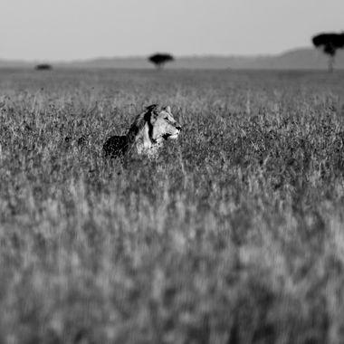 Lone Male Lion on Mara Plain
