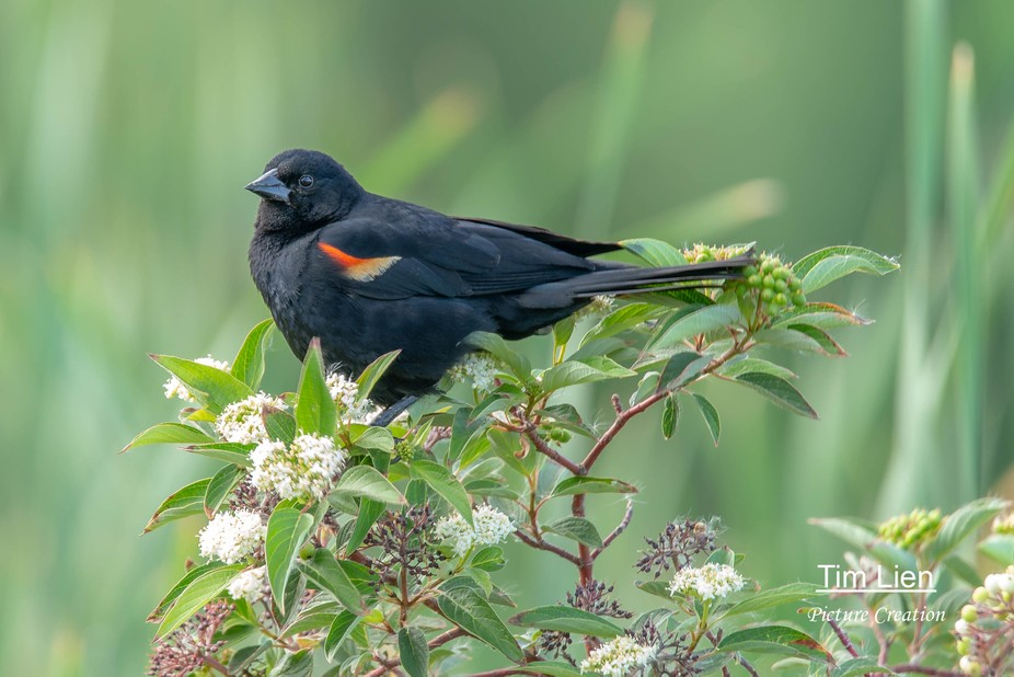 A red-wing blackbird sitting in a bush.