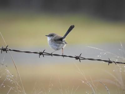 Fairy Wren on barbed wire.