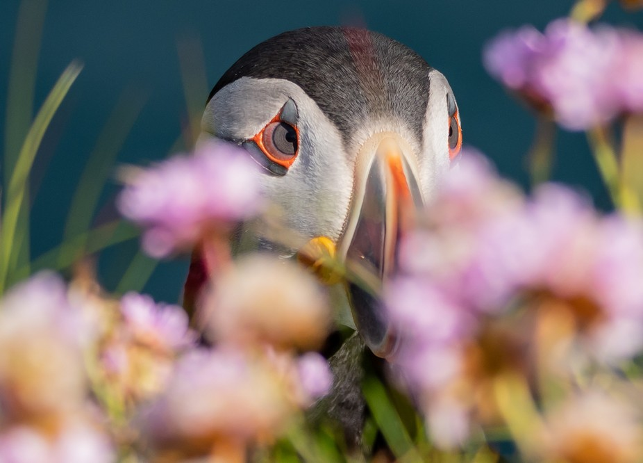 Puffin on the Nest Dunnet Head Scotland