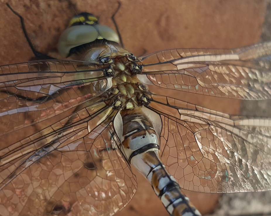 I saw this dragonfly when it flew into my garden. It was so awesome with it's glass wing...