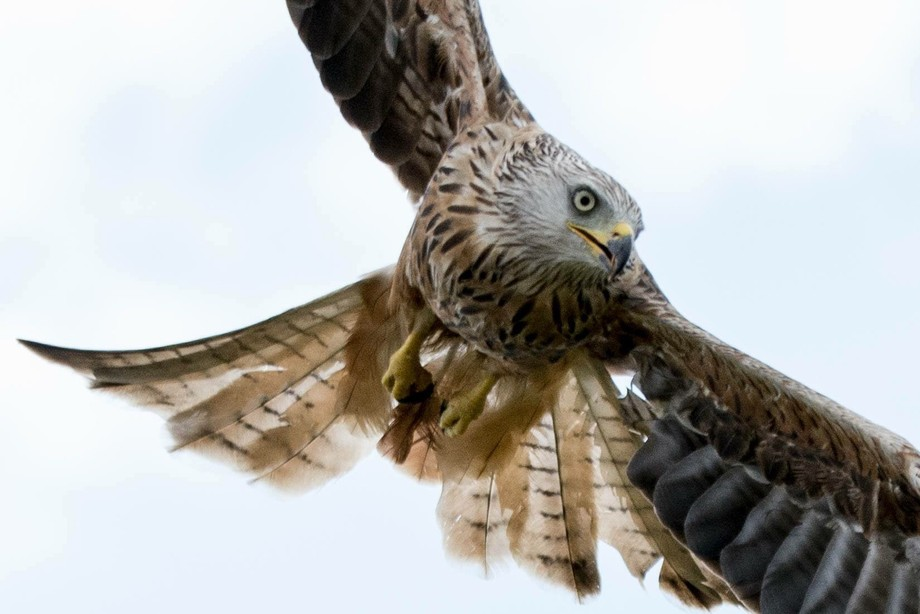 Red Kite in action