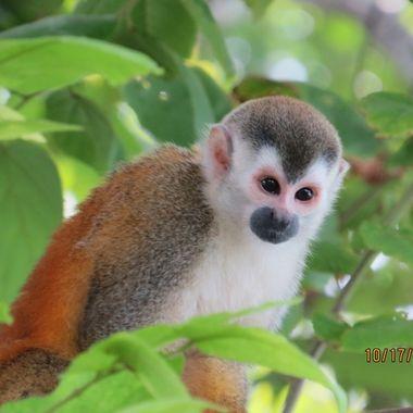 Spider Monkey, Guanacaste Costa Rica,IMG_1125