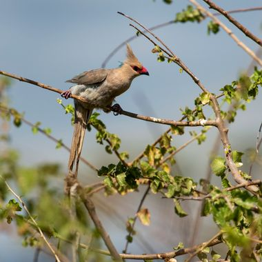 Red Beaked Bird in Thorn Tree