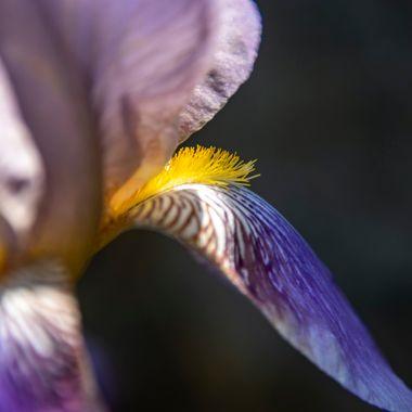 Yellow on Purple Iris