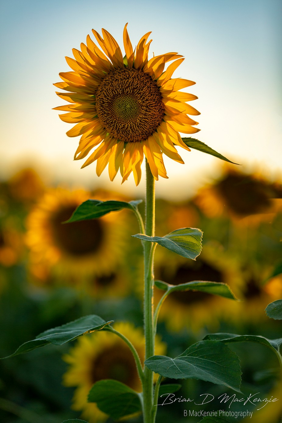 Sunflower Sunset  by bmackenziephotography - Covers Photo Contest Vol 48