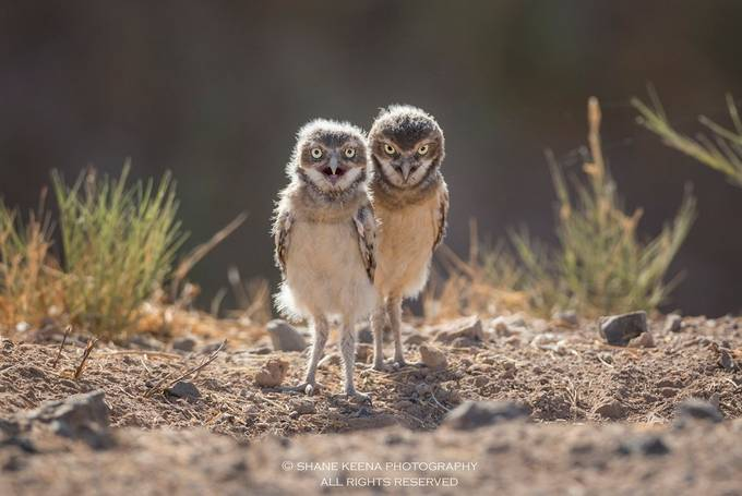 A pair of baby burrowing owls just after sunrise. by smkeena - Beautiful Owls Photo Contest