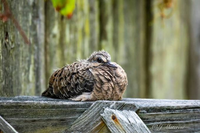 Mourning Dove Chick