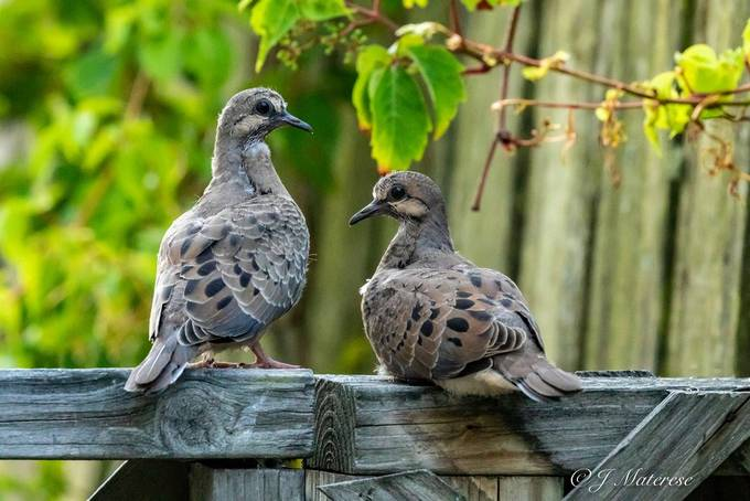 Mourning Dove Chicks