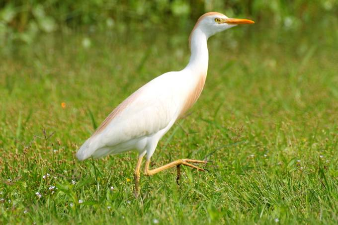 Cattle Egret with breeding colors.
