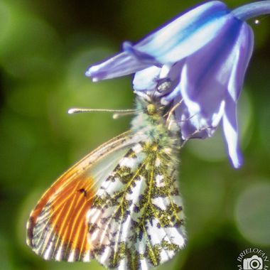 orange tip butterfly-5162