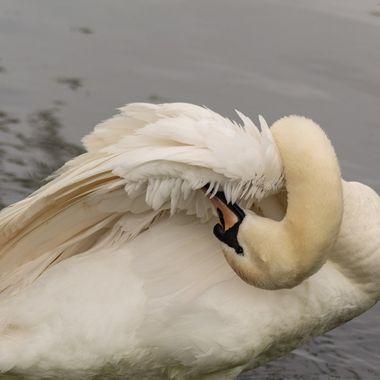 swan-4741