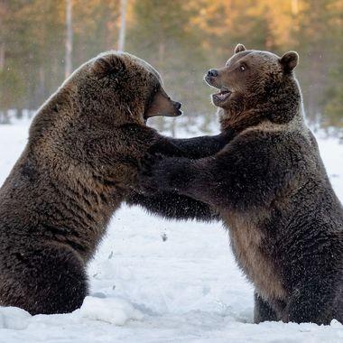 Bears_wrestle
