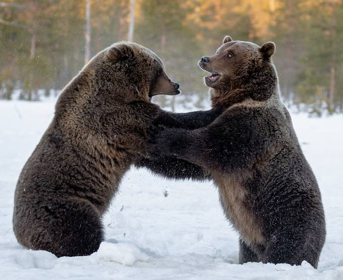 Bears_wrestle by haksu - Covers Photo Contest Vol 48