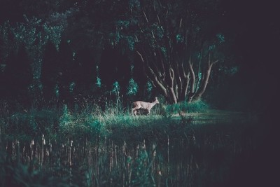 Young red deer in the wilderness